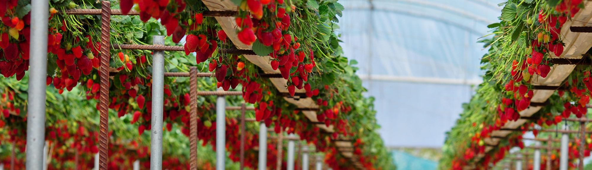 bioestimulación en berries