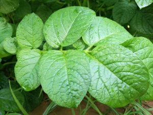 aspecto de las hojas tras la aplicación de DISPER Chlorophyl GS y DISPER Complex GS