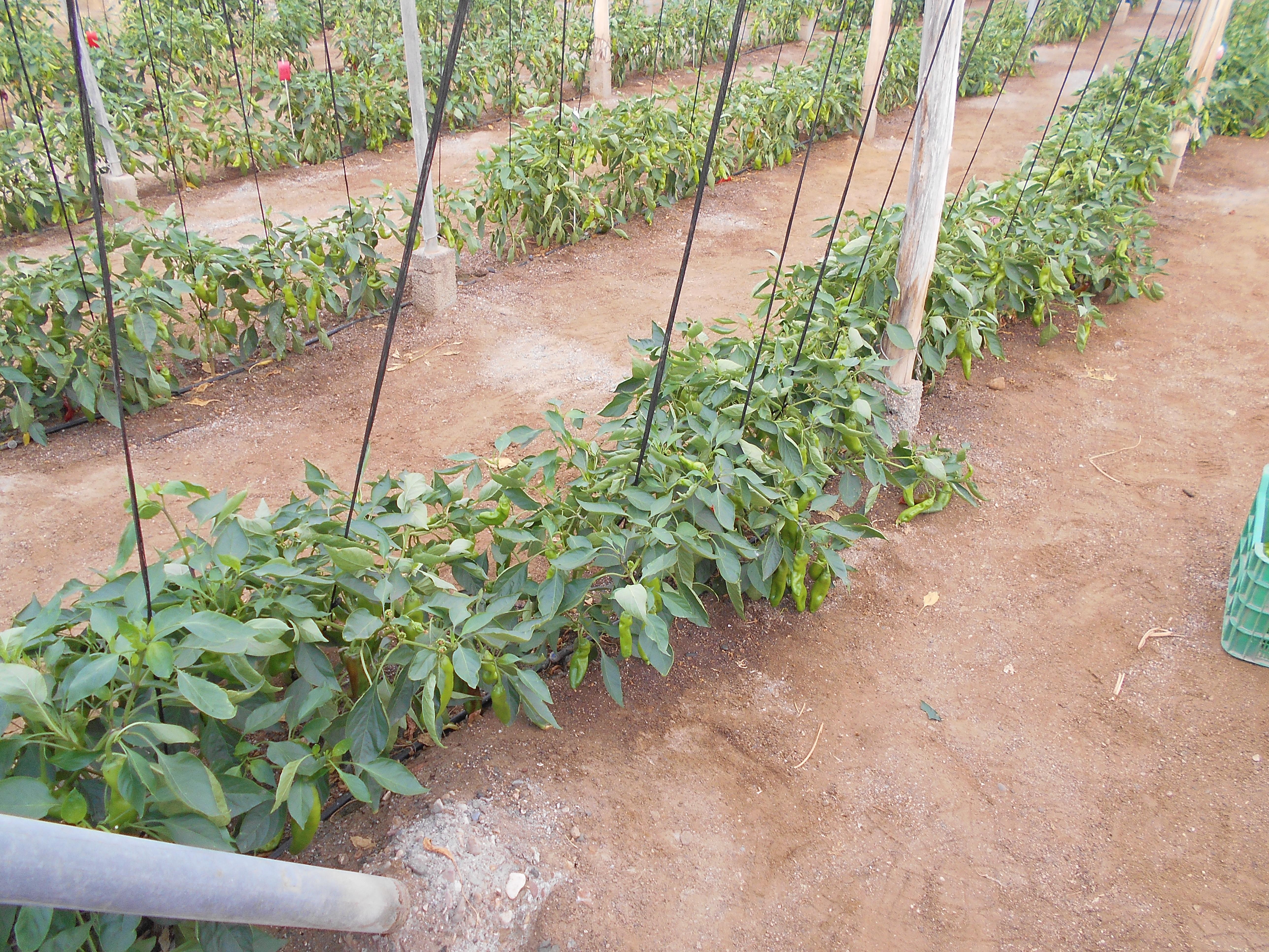 Salinidad en cultivos