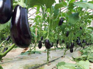 El boro como elemento esencial en la fructificación de las plantas